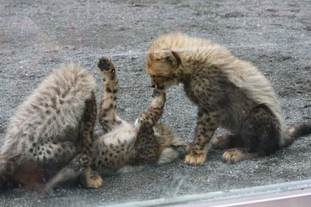 多摩動物公園110603-チーターの赤ちゃん-09