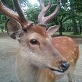 Photos: 野良鹿です♪