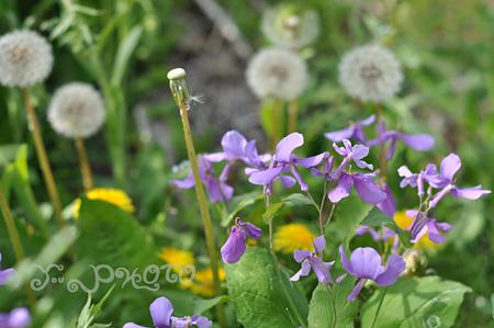 紫の花とたんぽぽ
