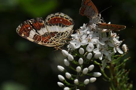 タテハチョウ科 サカハチチョウ
