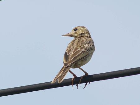 チャバネヤブヒバリ(Rufous-winged Bushlark)(Indochinese Bushlark)P1180868_R
