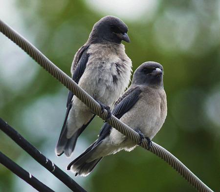 ハイイロモリツバメ(Ashy Wood-swallow) P1170702_R3