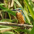 Photos: カワセミ(Common Kingfisher) P1230581_R
