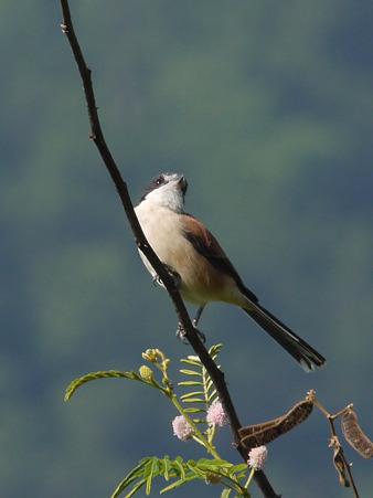 ハイガシラモズ♀(Burmese Shrike) P1210393_R2