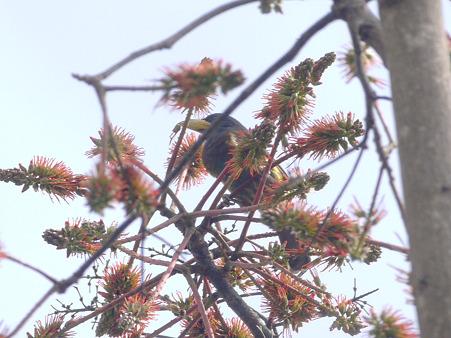オオゴシキドリ(Great Barbet) P1240531_R