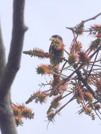 オオゴシキドリ(Great Barbet) P1240557_R