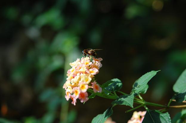 Photos: ハチ