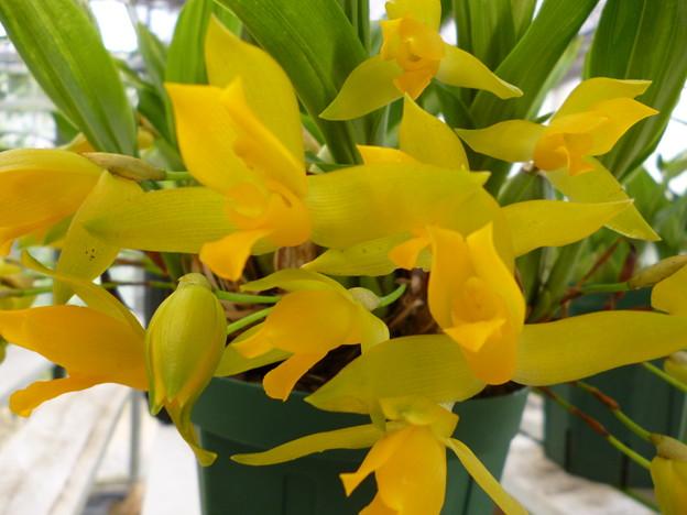 Lyc.aromatica