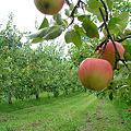 写真: りんご・林檎