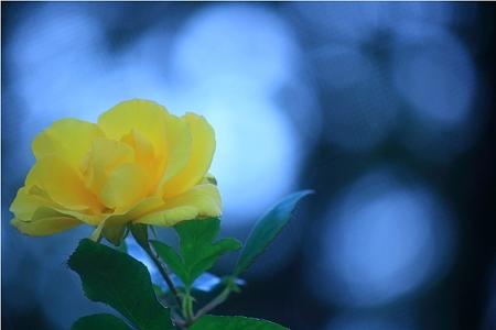 秋薔薇 イエロー