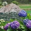 里山の紫陽花