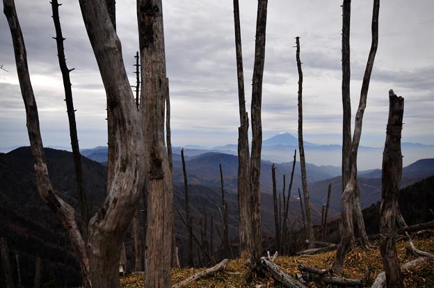 立枯れた木々の間から眺める富士山