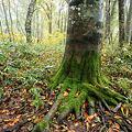 初秋のブナ林-3