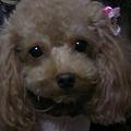Photos: 犬 トイプー ♀チョコ