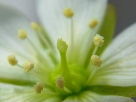 ハエトリグサの花アップ
