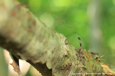 セミスジコブヒゲカミキリ