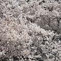 Photos: 多摩川沿いの桜13