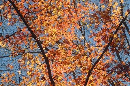 秋を惜しむもみじー2