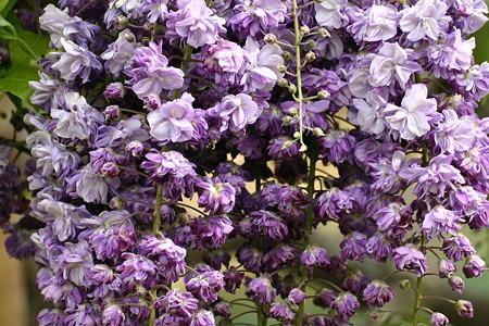 フジー紫(八重)