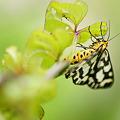 写真: 蝶のようで、蝶でない  ベンベン
