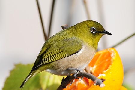 我が家の庭の住鳥(メジロ)