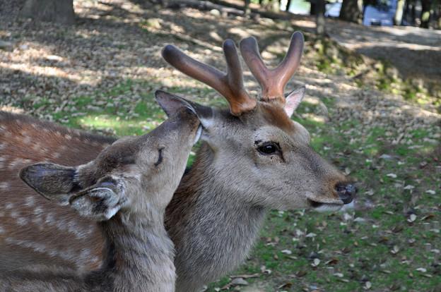 キスする鹿