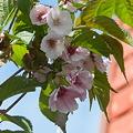 最北の八重桜