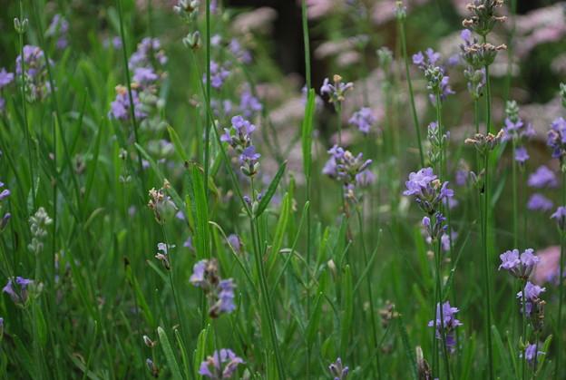 English Lavenders 7-9-10