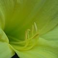 Lemon Yellow Daylily 7-9-10
