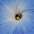Morning Glory 'Heavenly Blue' 8-31-08
