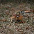 写真: A Chipmunk 1_8_11