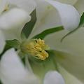 写真: Spring Snow Crabapple