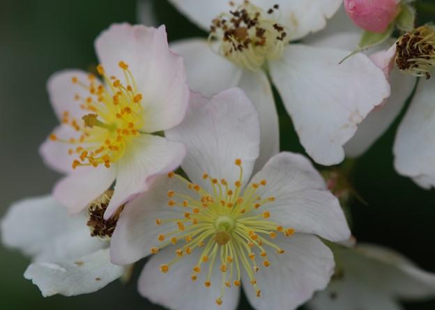 Multiflora Rose 6-26-11