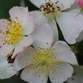 Photos: Multiflora Rose 6-26-11