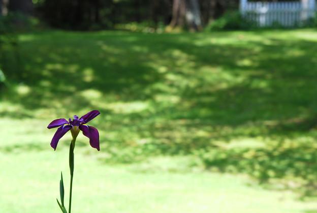 写真: My Japanese Iris
