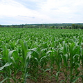 写真: The Field of Corn