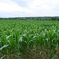 写真: The Field of Corn