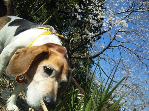 くんくんマリンと桜