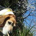 写真: くんくんマリンと桜