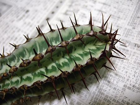 Euphorbia confinalis ssp. rhodesica