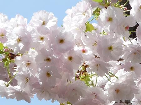 110417-造幣局 桜の通り抜け (69)