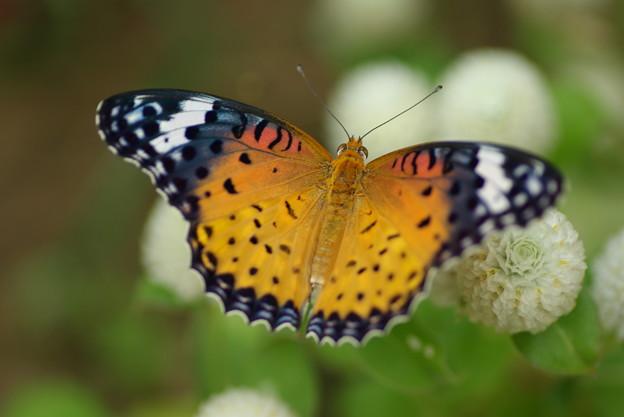 ツマクロヒョウモン蝶 マクロ