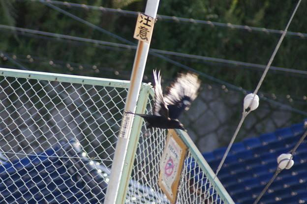 羽根の白いカラス