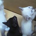 写真: 黒猫2匹は何とか決まりそう...