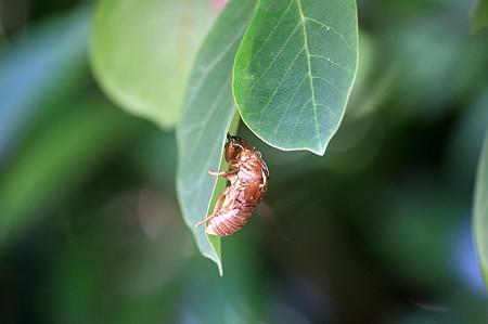 2010.08.05 和泉川 コブシの葉に蝉の抜け殻 旅立ち