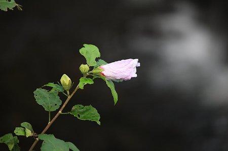 2010.10.13 和泉川 ムクゲ