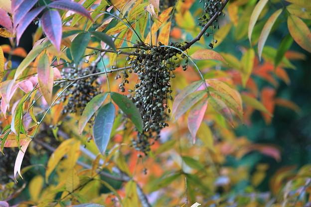 2010.11.11 和泉川 ハゼの木