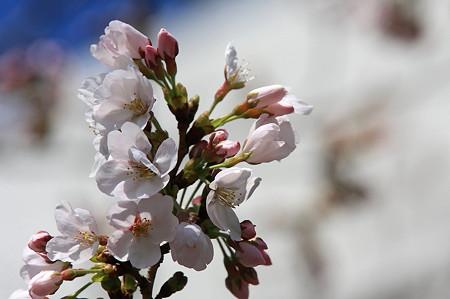 2011.04.04 和泉川 ソメイヨシノ開花