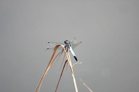 2011.08.12 和泉川 シオカラトンボ