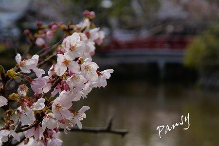 桜彩・・鶴岡八幡宮 3